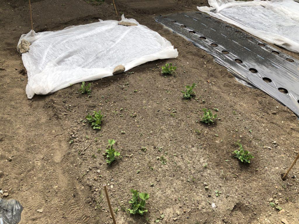 スナップエンドウ露地栽培