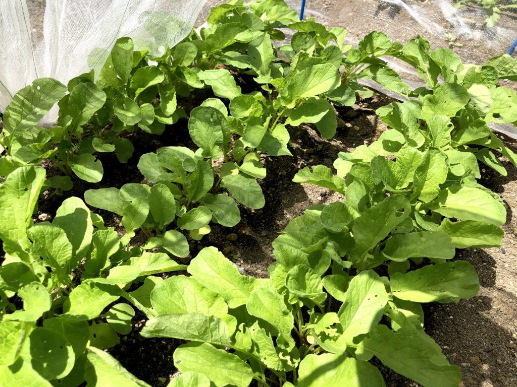 ラディッシュ 家庭菜園