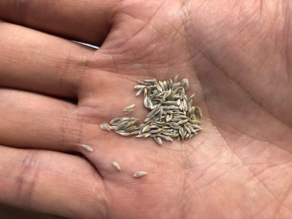 サンチュ 育て方 種