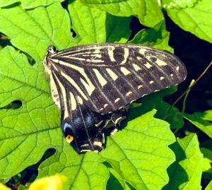キアゲハ 成虫