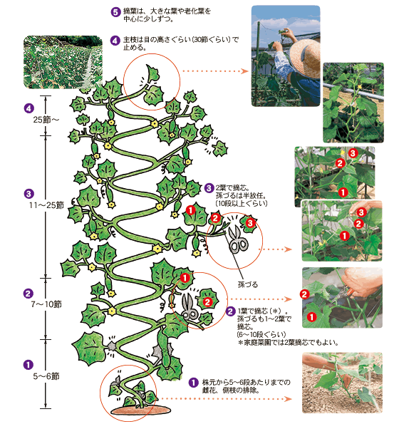 きゅうり製枝方法