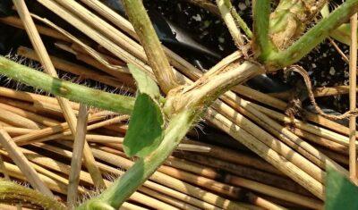 炭疽病のスイカの茎