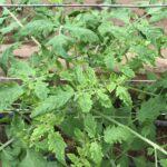 黄化葉巻病のトマト
