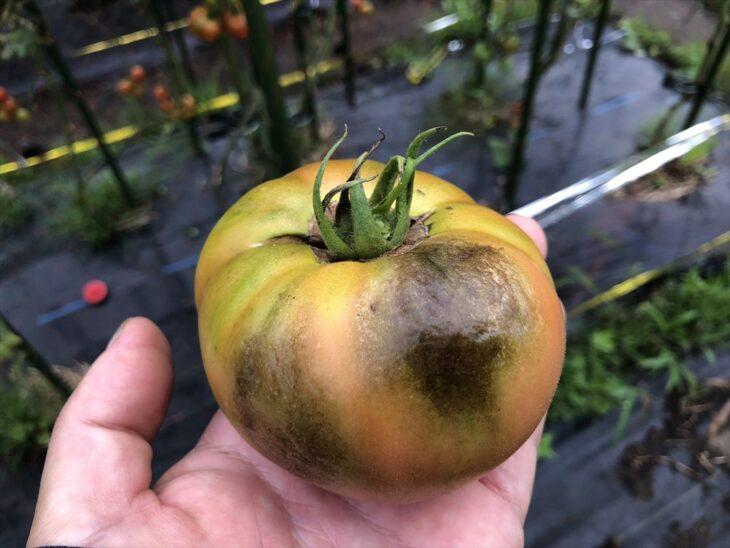 疫病(えきびょう)のトマトの実